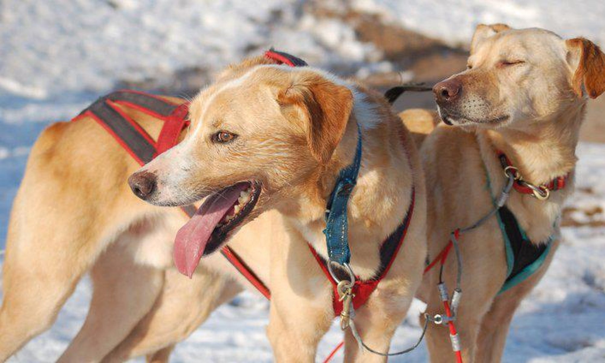 Tom's sleddogsafaries